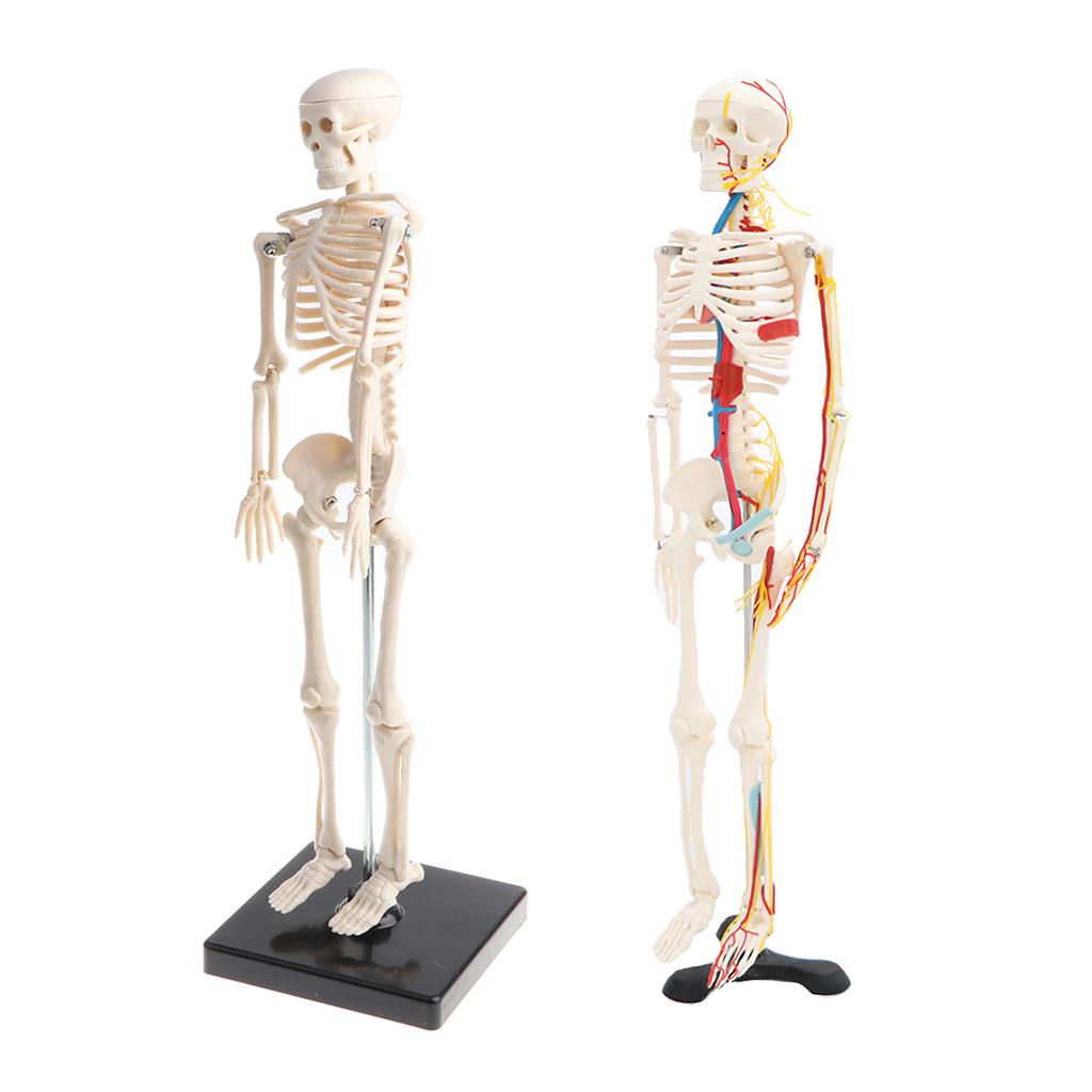 Forniture da laboratorio modello per scheletro umano a cuore in osso